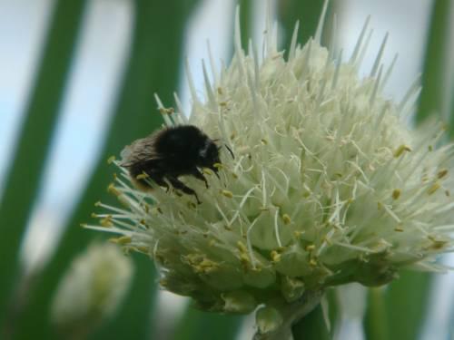 лук-батун, цветение