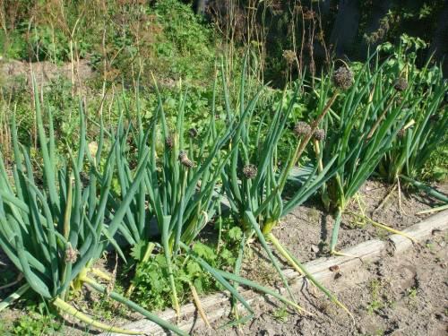 лук-батун, агротехника