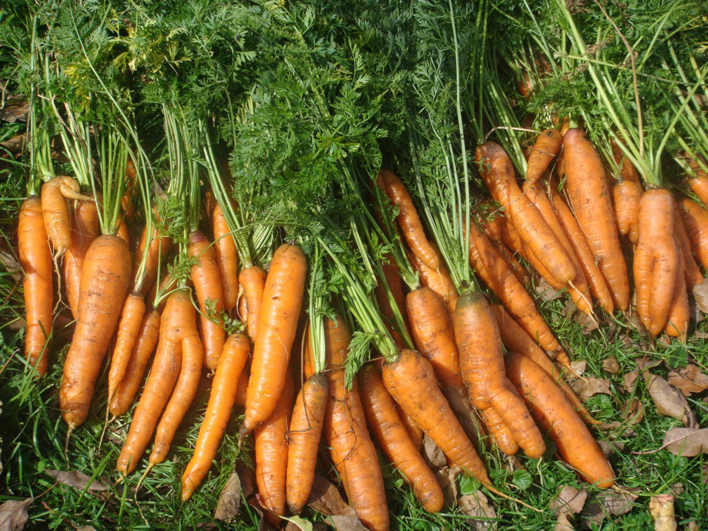 Морковь: как вырастить хорошую и крупную, как ухаживать чтобы был хороший урожай