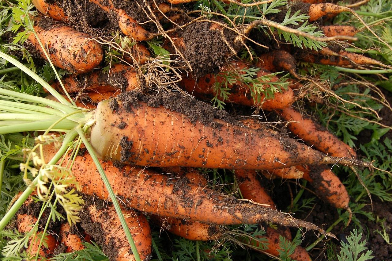 Оборудование для выращивания моркови 21