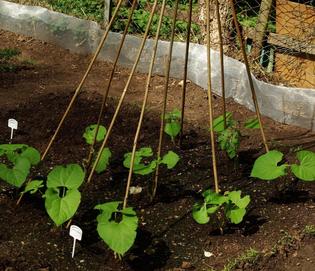 Фасоль овощная: спаржевая, стручковая, вигна