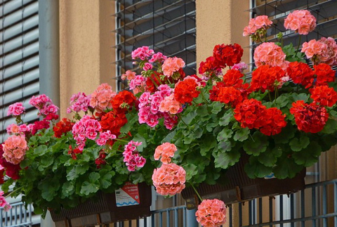Фото пеларгонии (герани) за окном