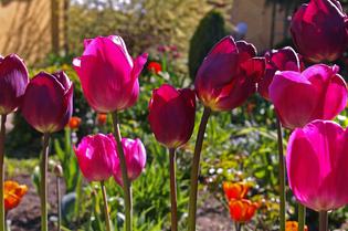 Как вырастить тюльпаны