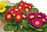 примула, Primula, тенелюбивые многолетники