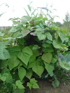 Как вырастить фасоль спаржевую, стручковую, вигну