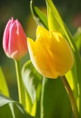 тюльпаны, Tulipa