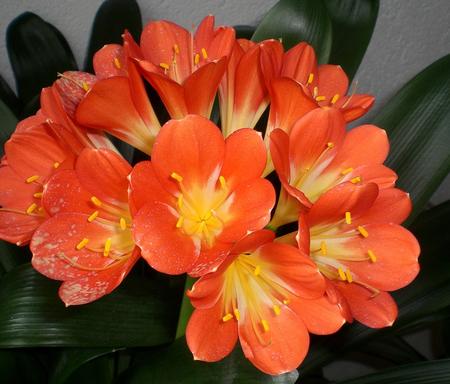 комнатные цветы, кливия