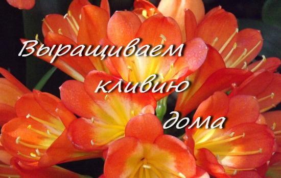 кливия, комнатные цветы